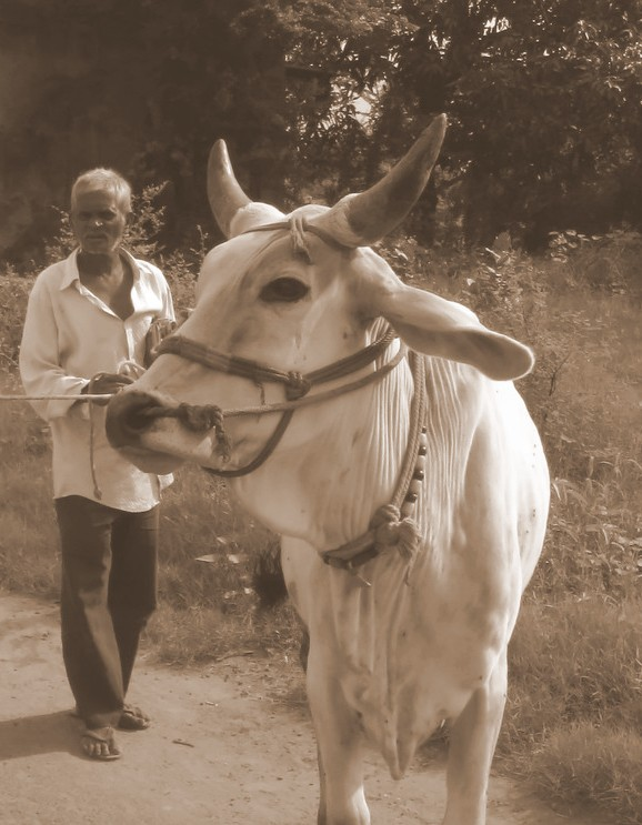 mucca vasant dave seppia
