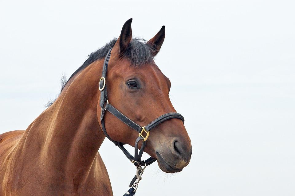cavallo pixabay vlaaitje